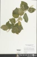 Adelia oaxacana image