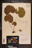 Heuchera parviflora image