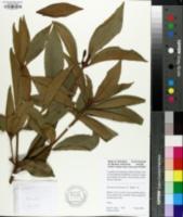 Image of Illicium lanceolatum