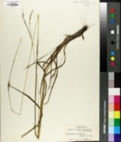 Image of Digitaria brazzae
