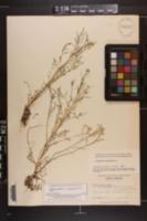 Cardamine parviflora var. arenicola image