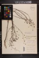 Agalinis filifolia image