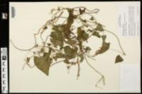 Fallopia scandens image