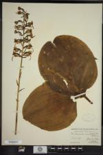 Platanthera macrophylla image