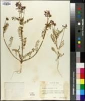 Image of Astragalus leptocarpus