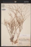 Eriogonum elegans image