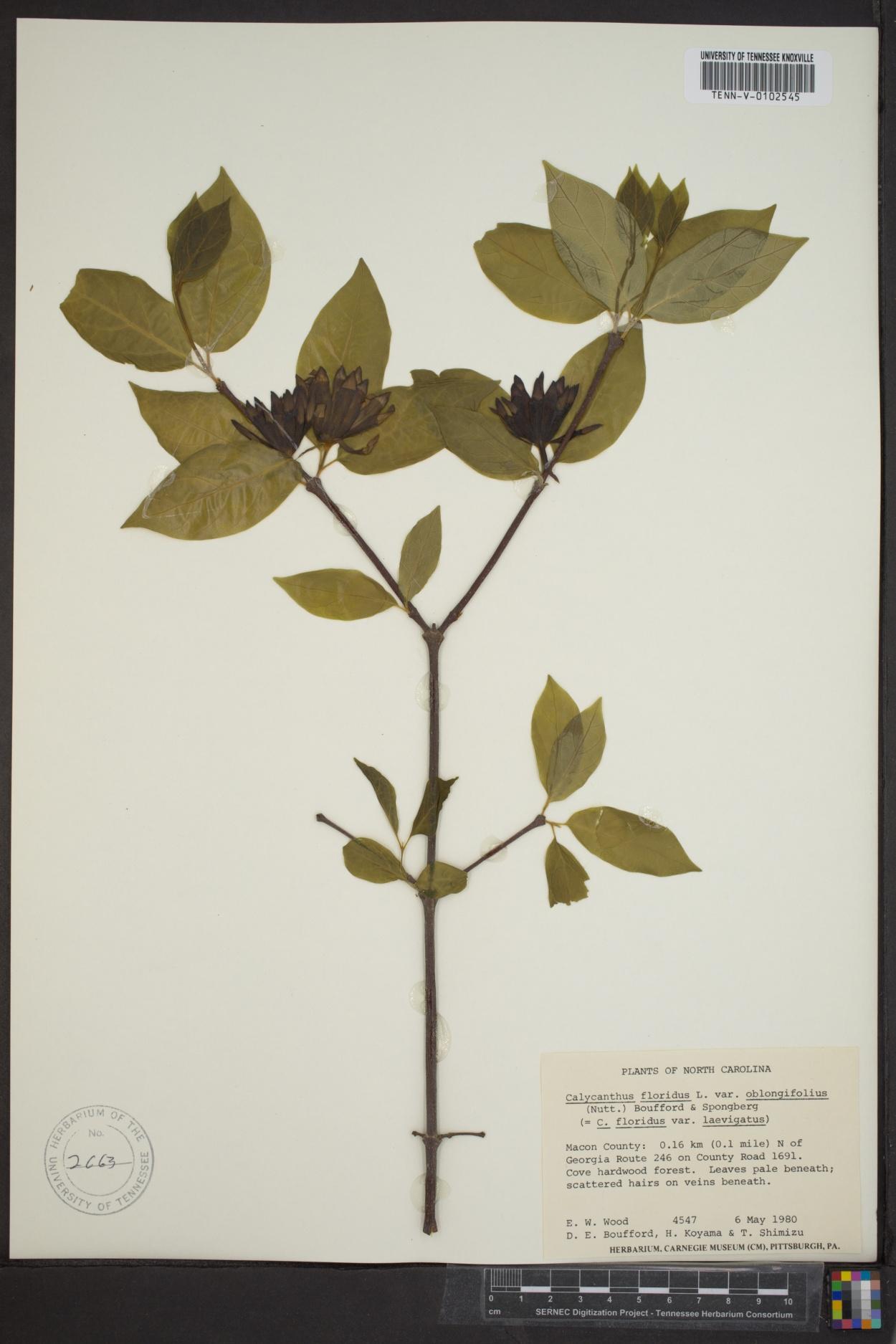 Calycanthus floridus var. oblongifolius image