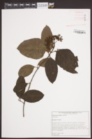 Viburnum nudum image
