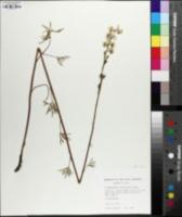 Delphinium carolinianum subsp. virescens image