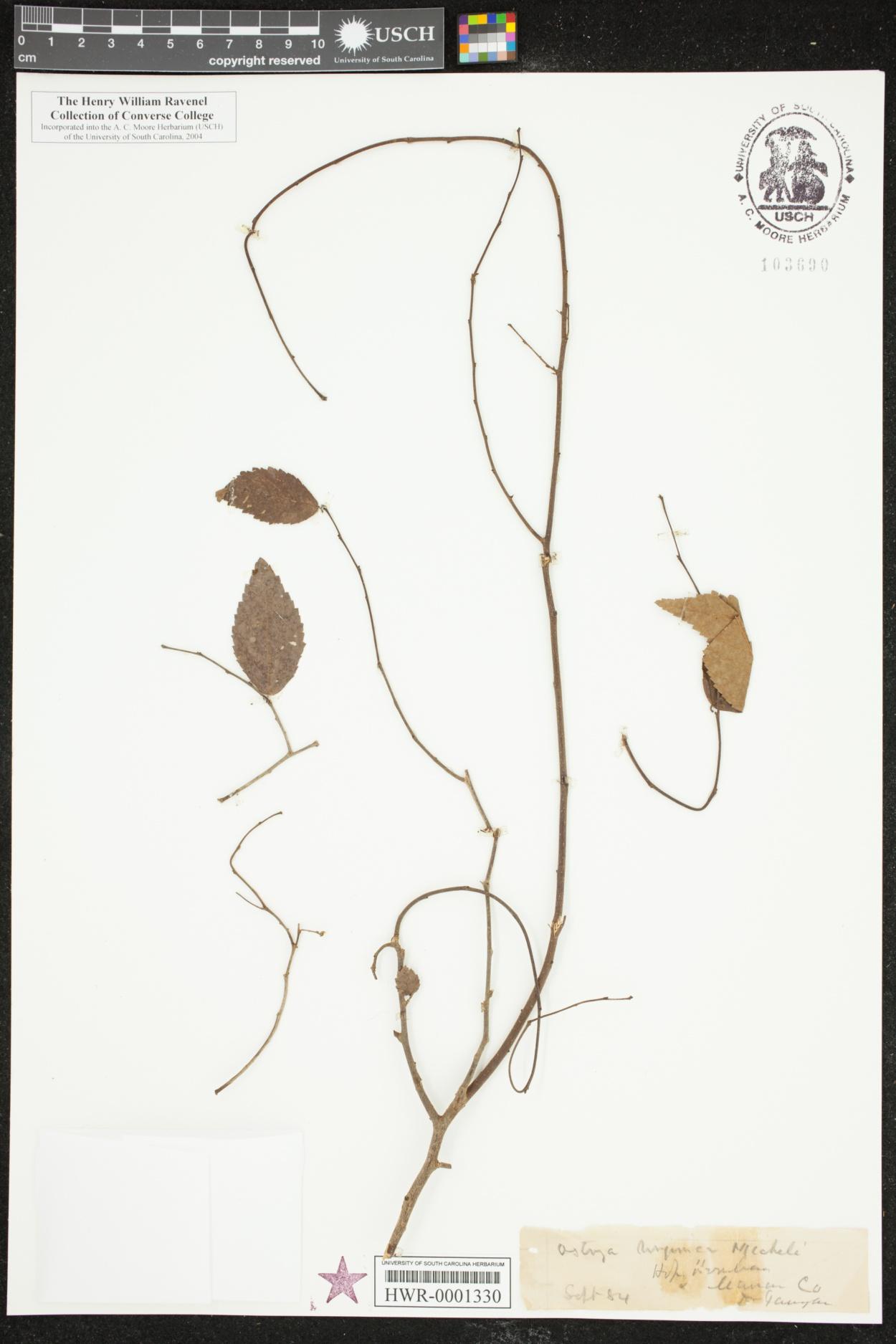 Ostrya virginica