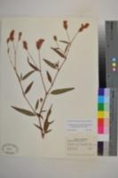 Image of Persicaria bicornis