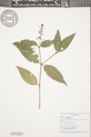 Image of Psychotria deflexa