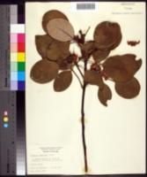 Image of Rhodoleia championii
