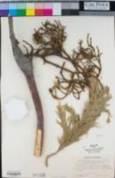 Phoradendron libocedri image