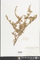 Image of Phyllanthus cochinchinensis