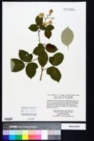 Image of Rubus bifrons