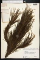 Pinus pinea image