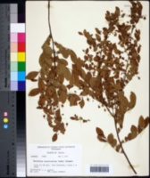 Image of Vaccinium concoloratum