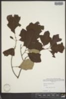 Quercus ilicifolia image