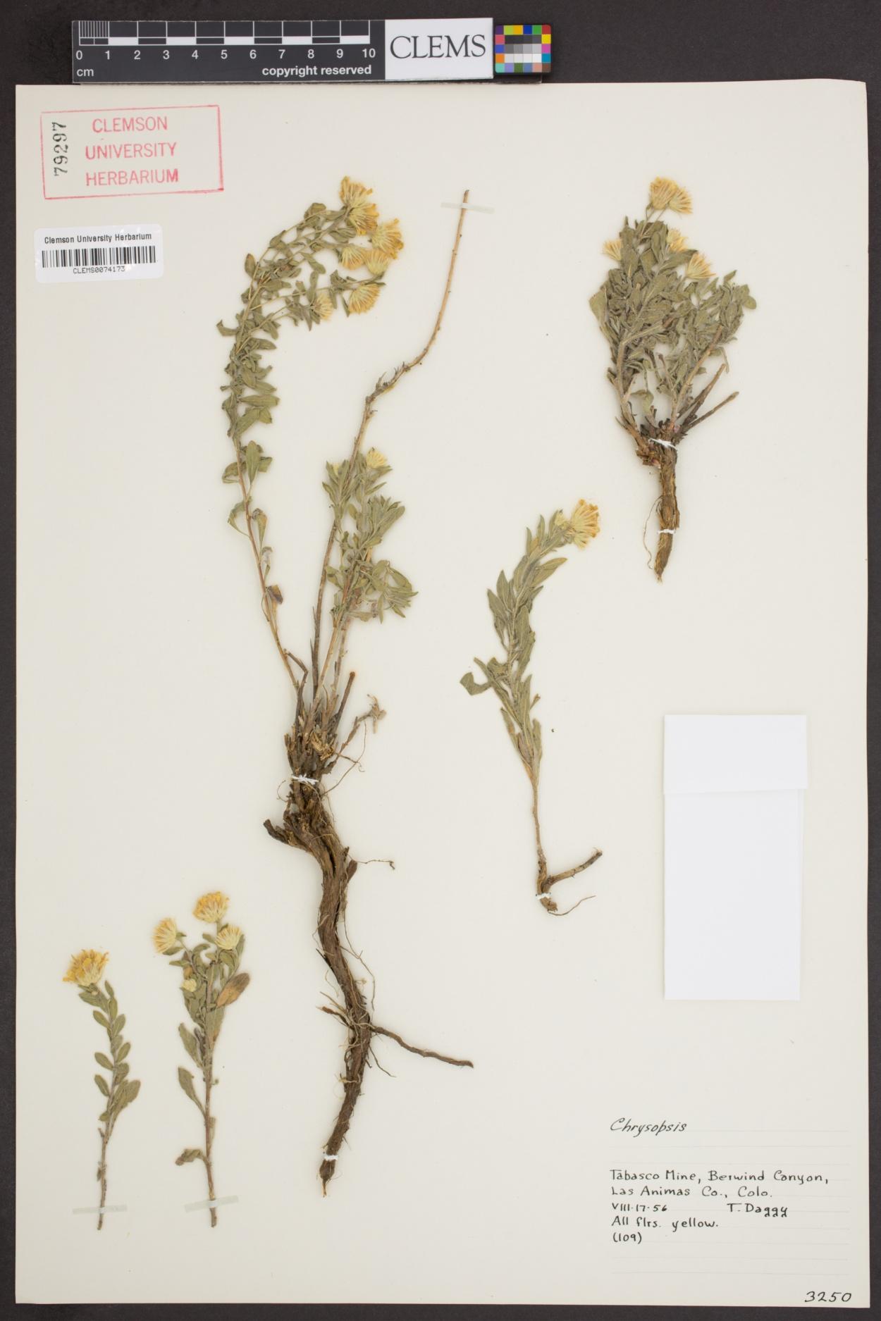 Chrysopsis image