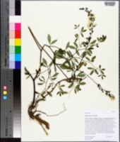 Baptisia albescens image