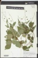 Hylodesmum pauciflorum image