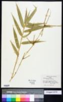 Image of Chusquea valdiviensis