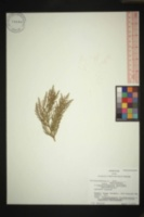 × Hesperotropsis leylandii image