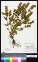 Image of Dracocephalum nuttallii