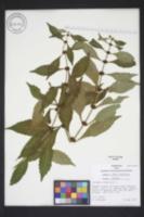 Lycopus virginicus image