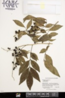 Picramnia pentandra image