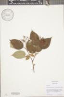Cornus priceae image