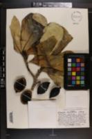 Image of Genipa clusiifolia