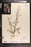 Image of Spermolepis divaricata