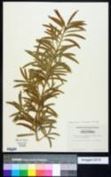 Image of Podocarpus chinensis