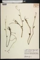 Image of Ranunculus subcordatus