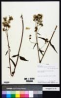 Image of Polyanthina nemorosa