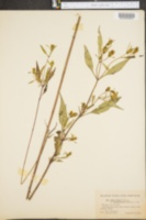 Bidens eatonii var. kennebecensis image