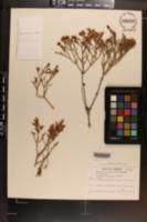 Eriogonum heermannii var. apachense image