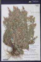 Gamochaeta calviceps image