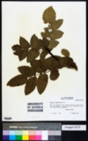 Berberis aquifolium image