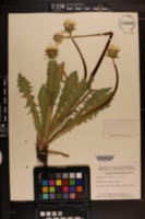 Image of Taraxacum dumetorum