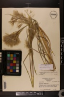 Andropogon glomeratus var. pumilus image