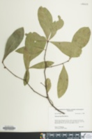 Image of Quercus laurifolia
