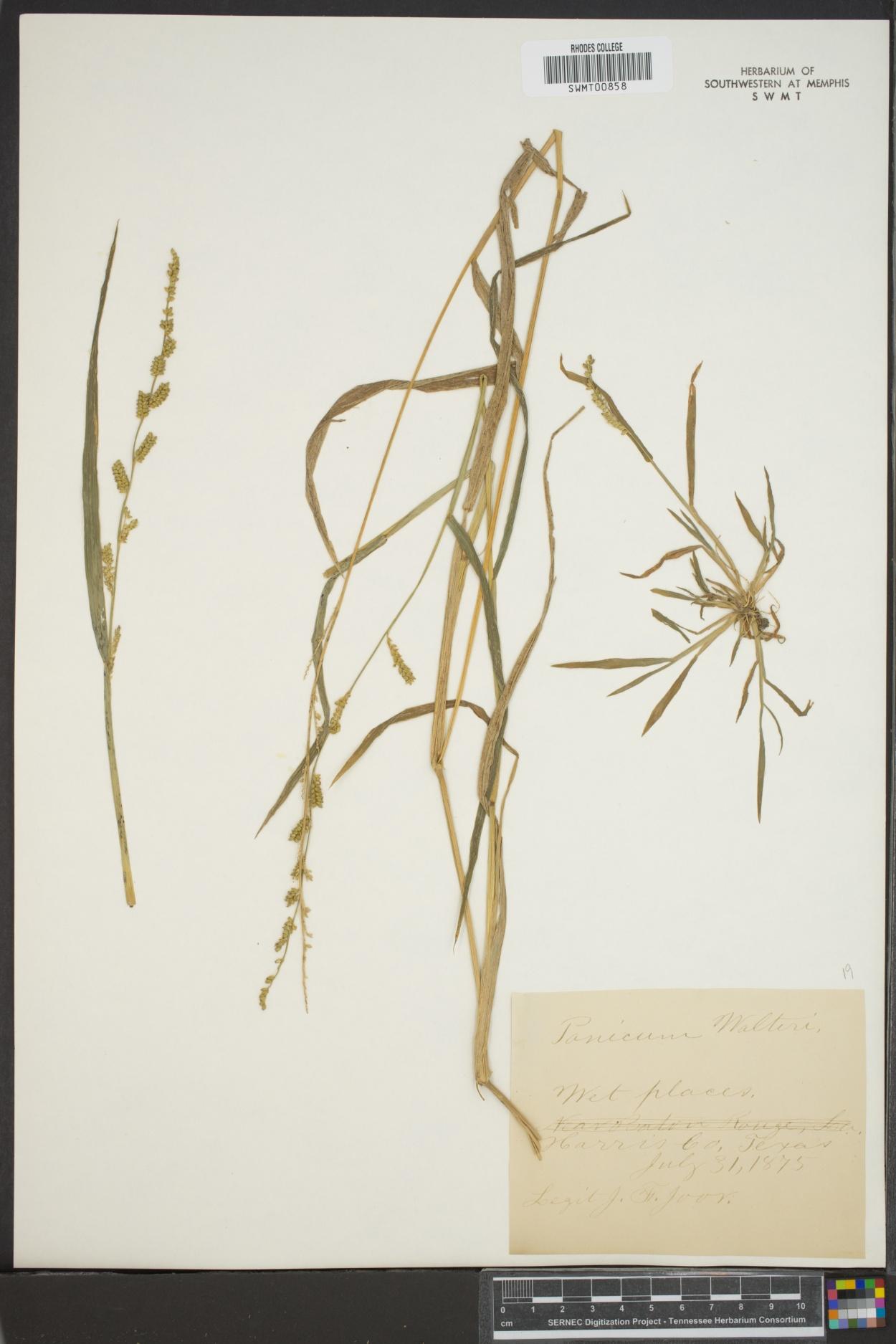 Panicum walteri image
