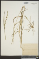 Image of Panicum walteri