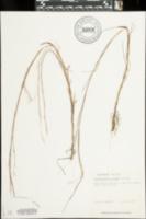 Image of Schizachyrium niveum