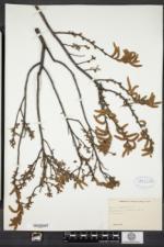 Comptonia peregrina image