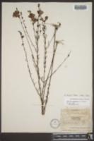 Agalinis harperi image