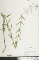 Image of Eupatorium leucolepis